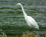 اگرت بزرگ - Great White Egret - Egretta alba