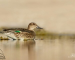 پرنده نگري - خوتکا - Common Teal - Anas crecca