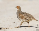 پرنده نگري - کبک چیل - Grey Partridge - Perdix perdix
