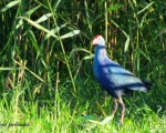 پرنده نگري - طاووسک - Purple Swamphen - Porphyrio porphyrio