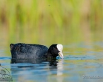 پرنده نگري - چنگر - Common Coot - Fulica atra