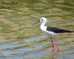 پرنده نگري - چوب پا - Black-winged Stilt - Himantopus himantopus