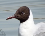 کاکایی سر سیاه - Common Black-headed Gull - Larus ridibundus