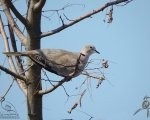 پرنده نگري - یا کریم - Eurasian Collared-dove - Streptopelia decaocto
