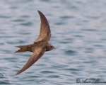 باد خورک معمولی - Common Swift - Apus apus