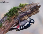 دارکوب خالدار بزرگ - Great Spotted Woodpecker - Dendrocopos major