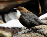 پرنده نگري - زیرآبروک - White-throated Dipper - Cinclus cinclus