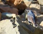 پرنده نگري - طرقه بنفش - Blue Rock-thrush - Monticola solitarius