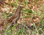 پرنده نگري - بلبل خالدار - Thrush Nightingale - Luscinia luscinia