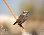 گلوآبی - Bluethroat - Luscinia svecica