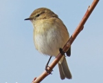 پرنده نگري - سسک چیفچاف - Common Chiffchaff - Phylloscopus collybita