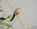 پرنده نگري - لیکو - Common Babbler - Turdoides caudata