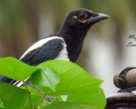 پرنده نگري - زاغی - Common Magpie - Pica pica