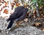 پرنده نگري - مینا - Common Myna - Acridotheres tristis