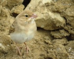 پرنده نگري - گنجشک خاکی - Pale Rock-sparrow - Carpospiza brachydactyla