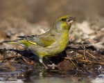 پرنده نگري - سهره سبز - European Greenfinch - Carduelis chloris