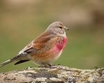 سهره سینه سرخ - Common Linnet - Carduelis cannabina