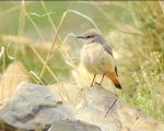 پرنده نگري - چکچک دم سرخ - Red-tailed wheatear - Oenanthe chrysopygia