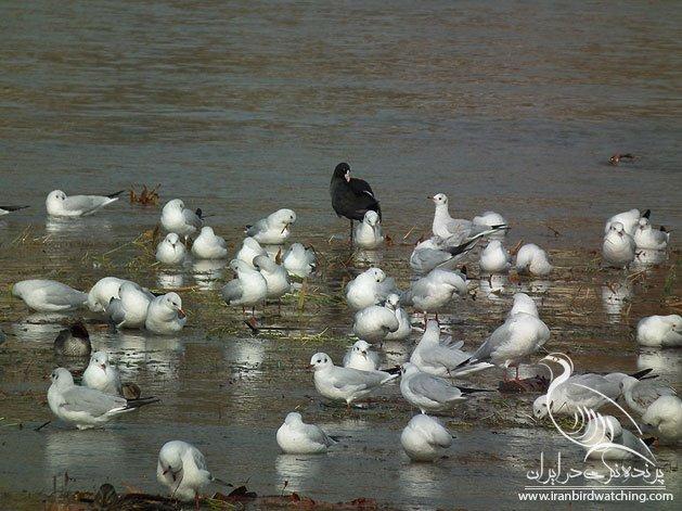 پرندگان در زاینده رود